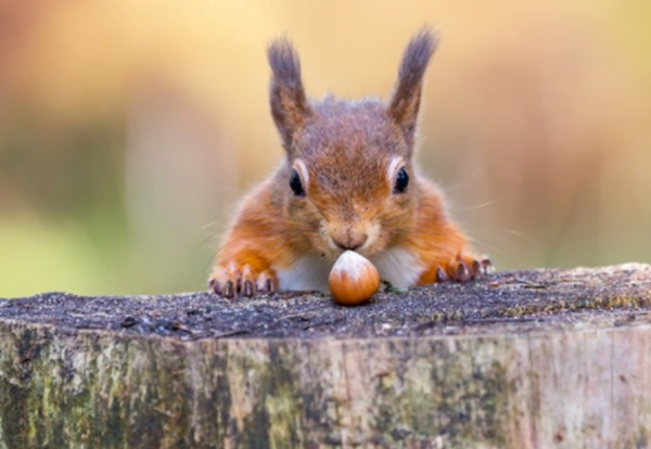 What Do Red Squirrels Eat And What to Feed Them