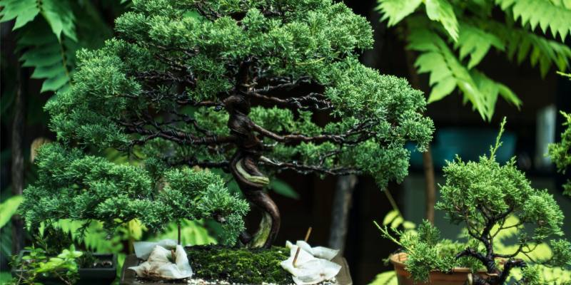 What is the Significance of a Bonsai Tree