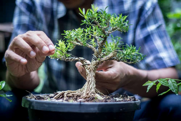 Why is Trimming Sequoia Bonsai Important