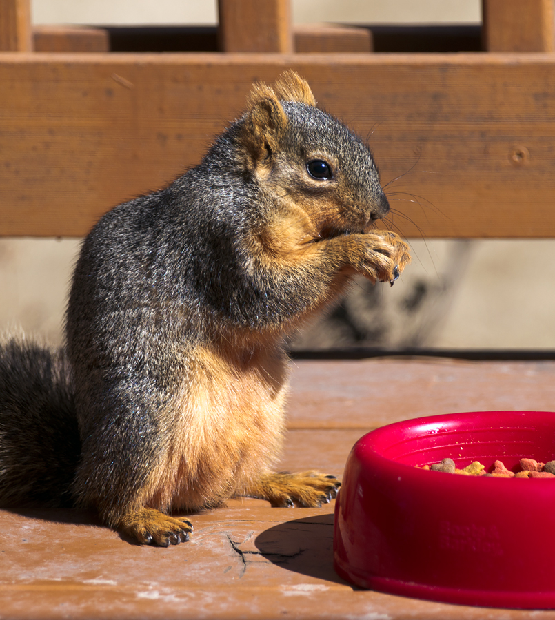 squirrel eating Pet Food