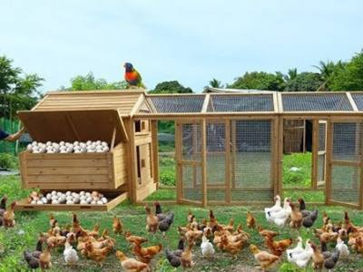 12 Steps to Clean Your Chicken Coop with Ease