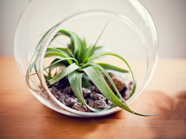 Air Plant Terrarium with Minerals and a Special Container