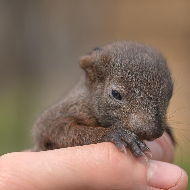 Baby Squirrel Week 2