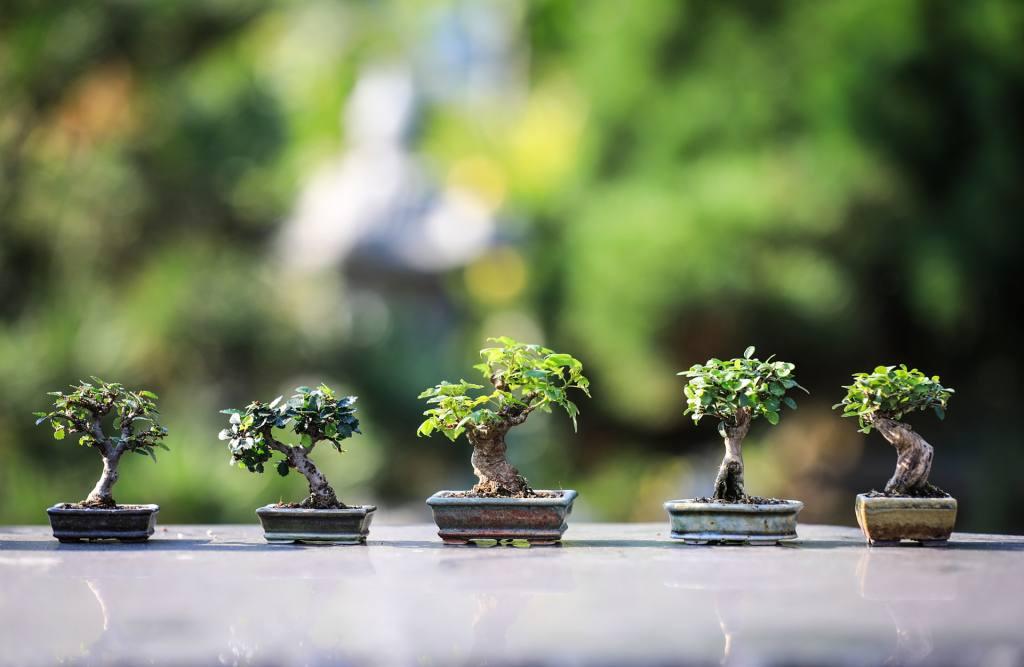 Purpose of Growing Bonsai Tree