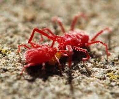 . Red Spider Mite
