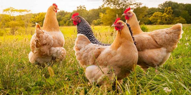 The Best Strategies for Getting Your Chickens to Return at Night