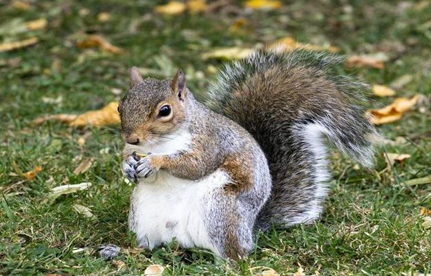 What Are the Benefits of Eating Squirrel Meat