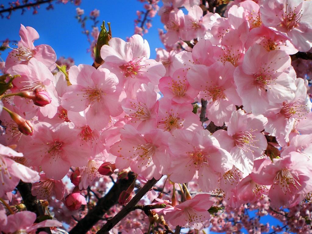 "Cherry blossoms (""Sakura"" in Japanese)"