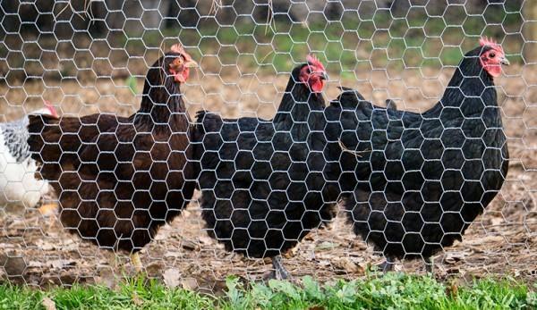 Fencing of Chicken Coop