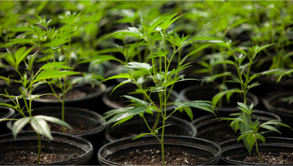 For Vegetative Growth