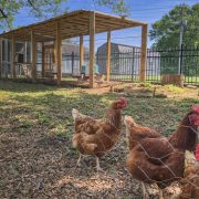 How Far from Your House Should You Put a Chicken Coop