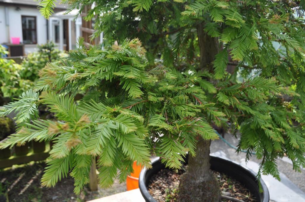 Sequoia Bonsai