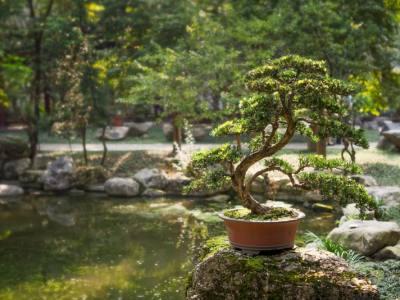 Sequoia Bonsai Tree