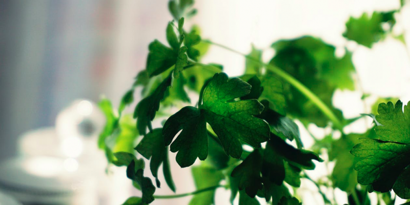 Stem and Root of Coriander