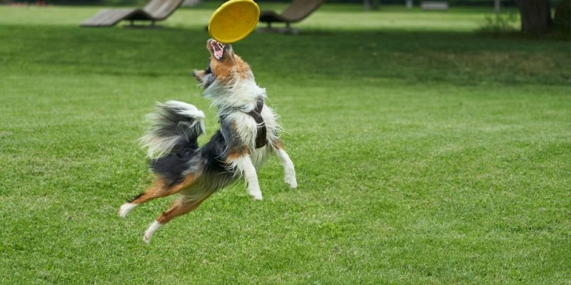 How To Select Competition Discs for Your Frisbee Dog