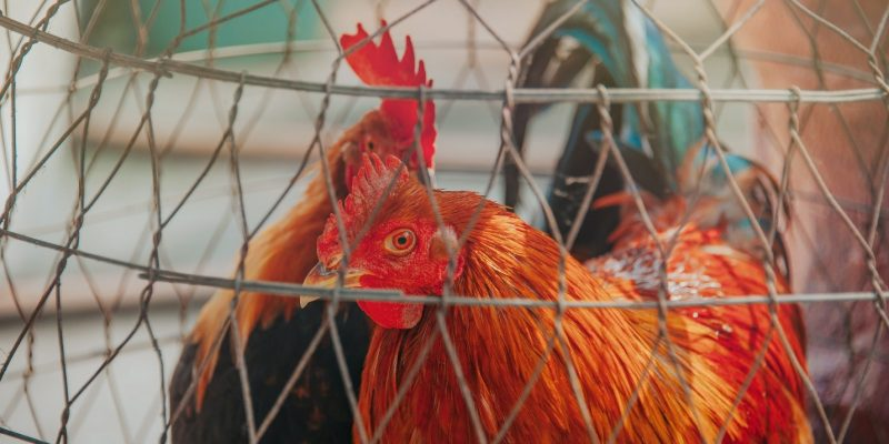 The Best and Worst Colors for a Chicken Coop