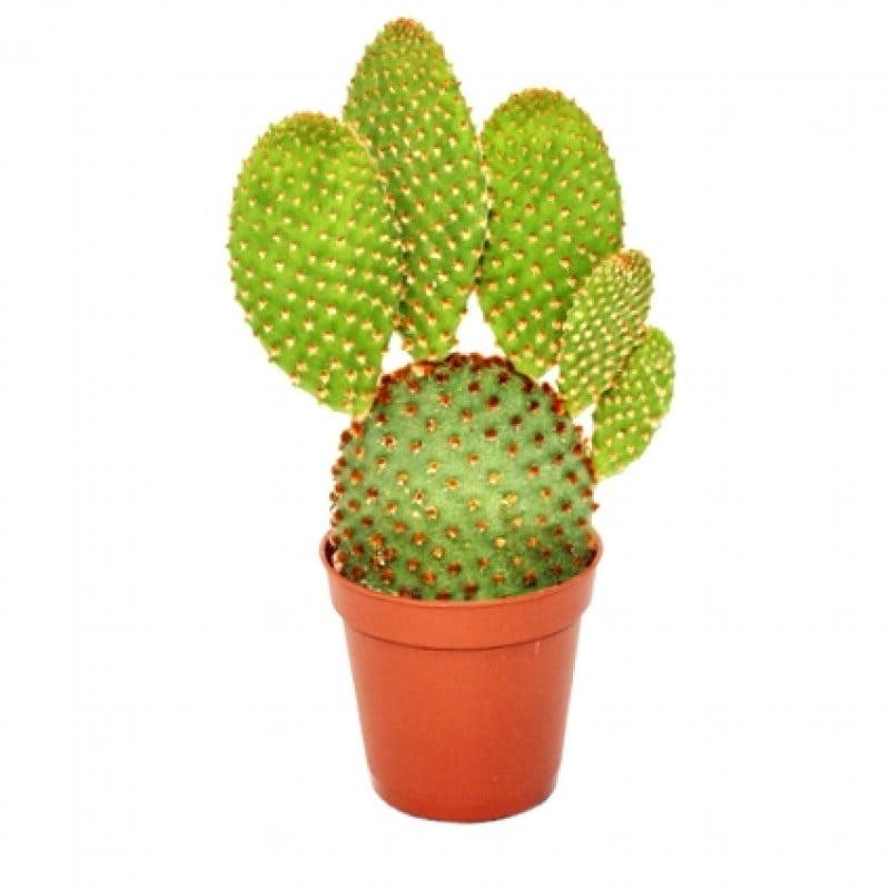 Bunny Ears Cactus