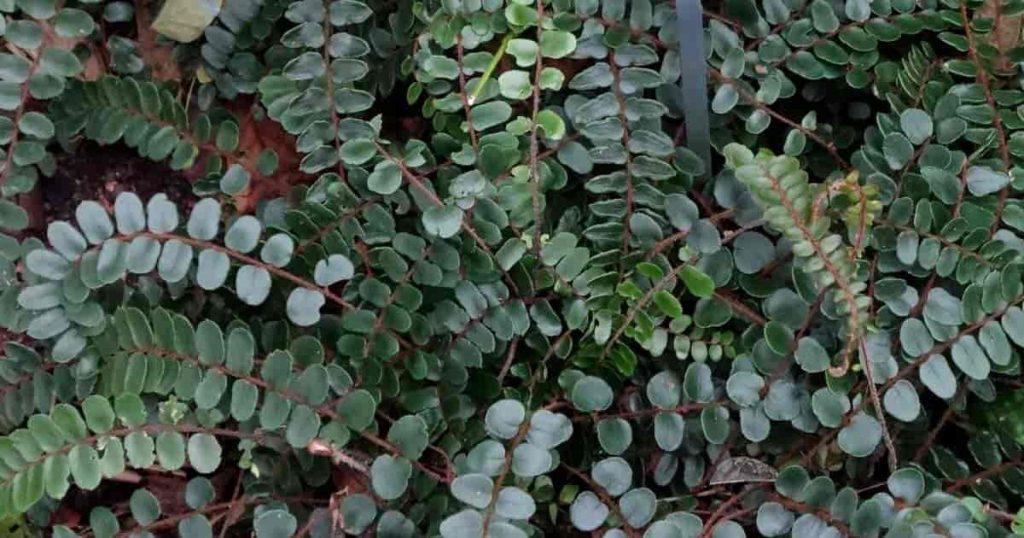 Button Ferns