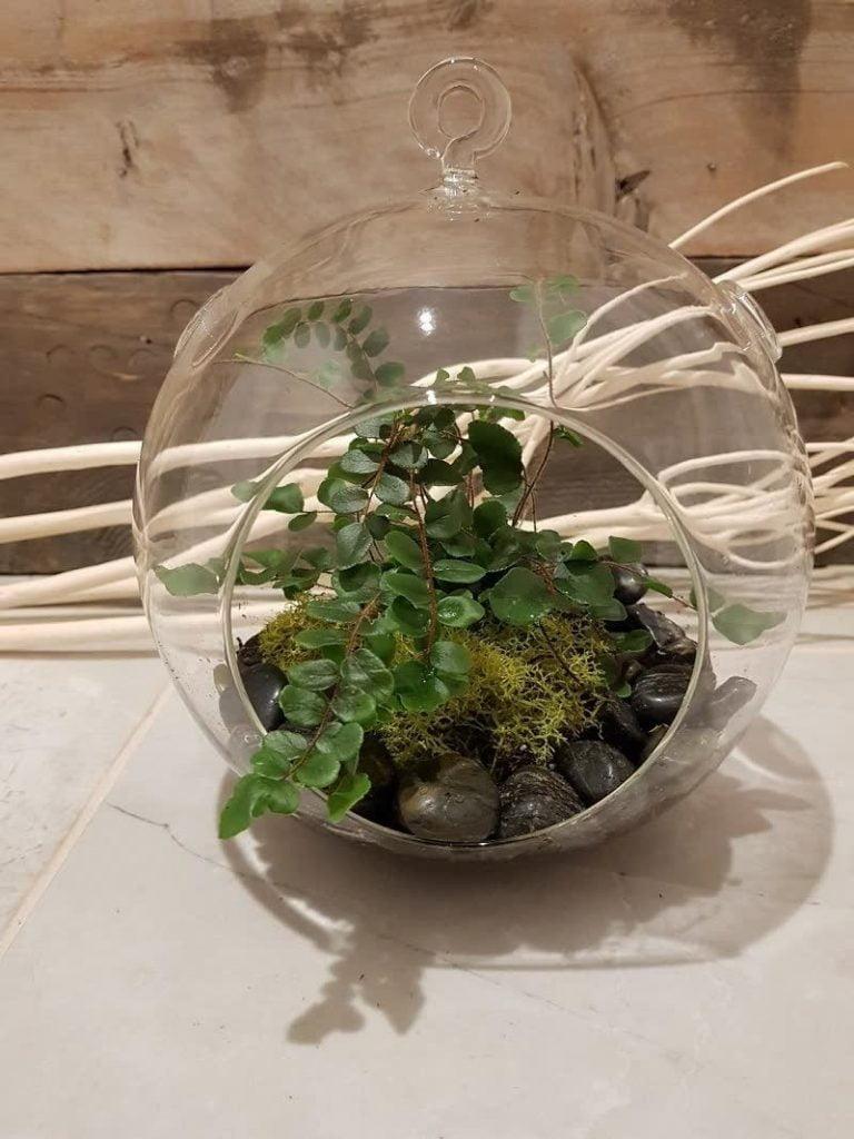 Button ferns for small terrariums _Pinterest