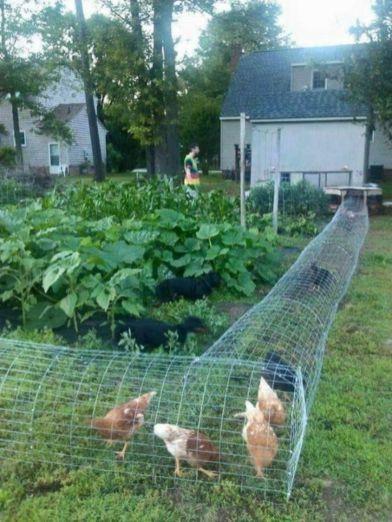 Chicken Garden Plan
