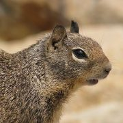 Consumption of Squirrel During Summer - Safe or Unsafe
