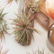 Expensive Air Plants to Grow