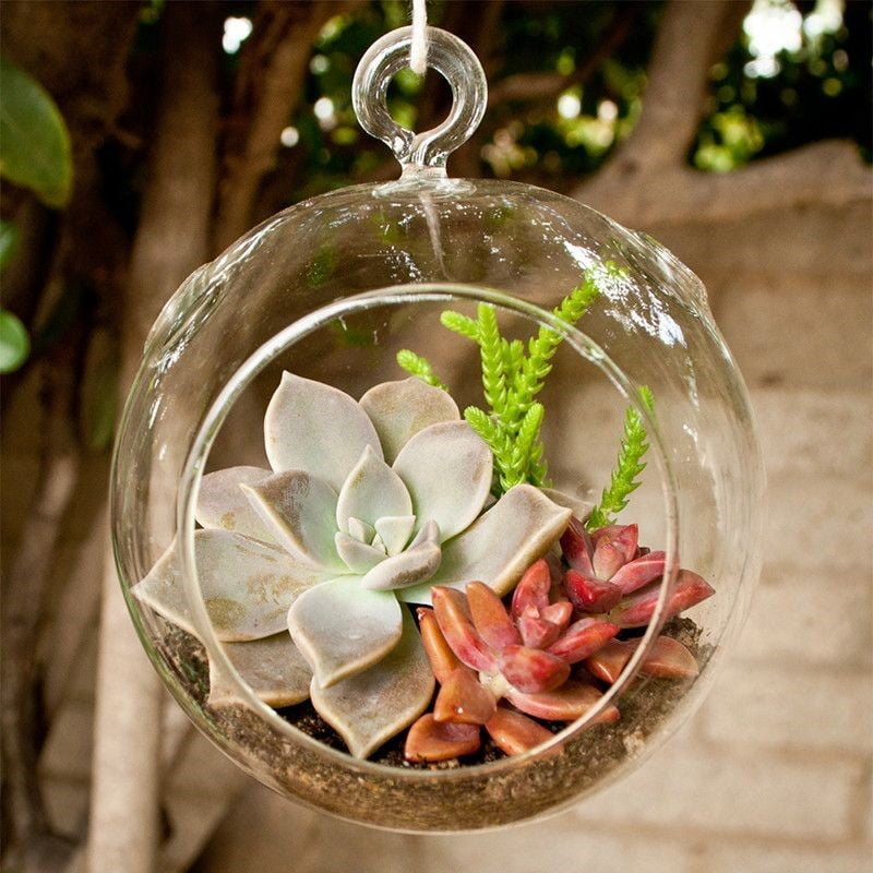 Ghost plant for small terrariums