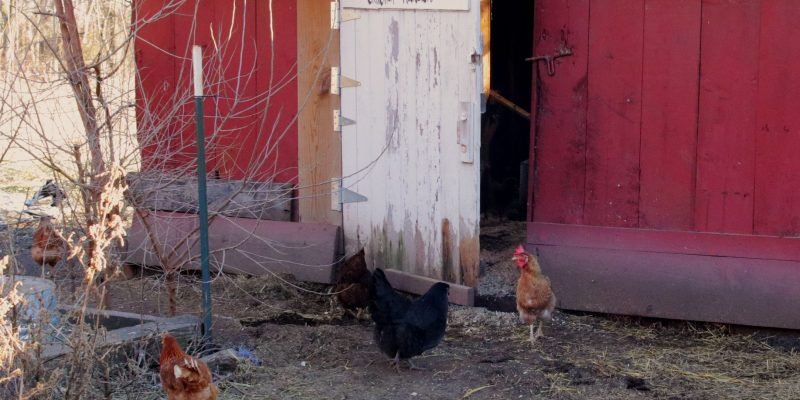 How Often Should You Move a Chicken Coop