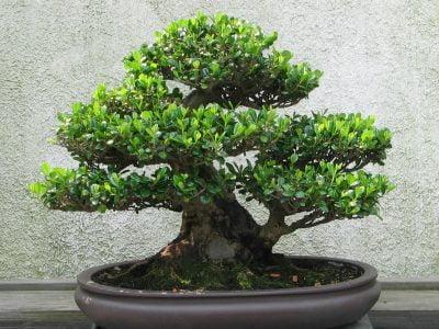 How To Prune Sequoia Bonsai