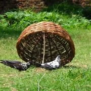 How to Catch a Pigeon or a Bird in a Trap