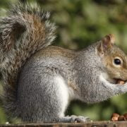 Is It Safe to Eat Urban Squirrels