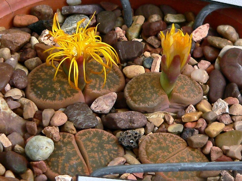 Lithops for small terrariums