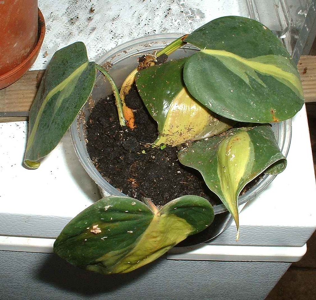 Philodendron Hederaceum (Brasil)