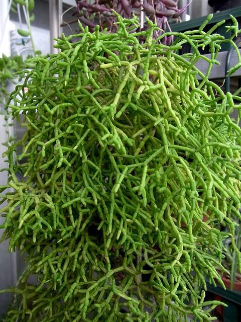 Rhipsalis Species (Mistletoe Cactus)