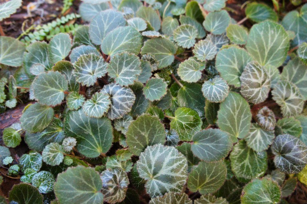 Strawberry begonias for small terrariums