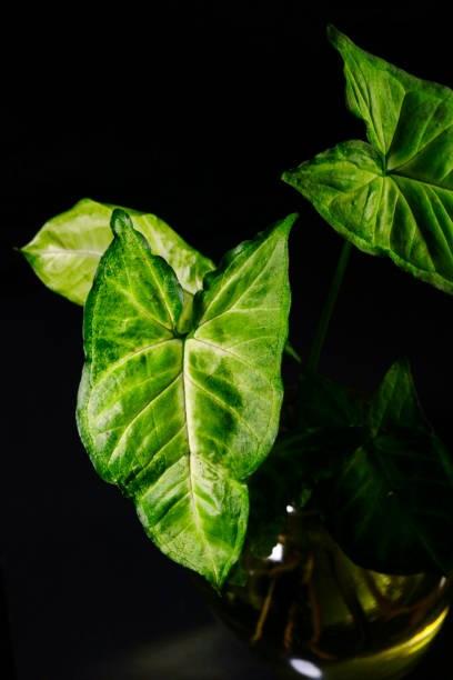 Syngonium Podophyllum (Arrowhead Plant)