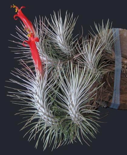 Tillandsia Funckiana V. Recurvifolia