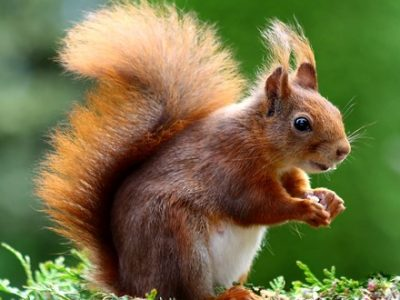 When is it safe to eat squirrel
