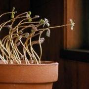 Why Do Plants Grow Towards Light