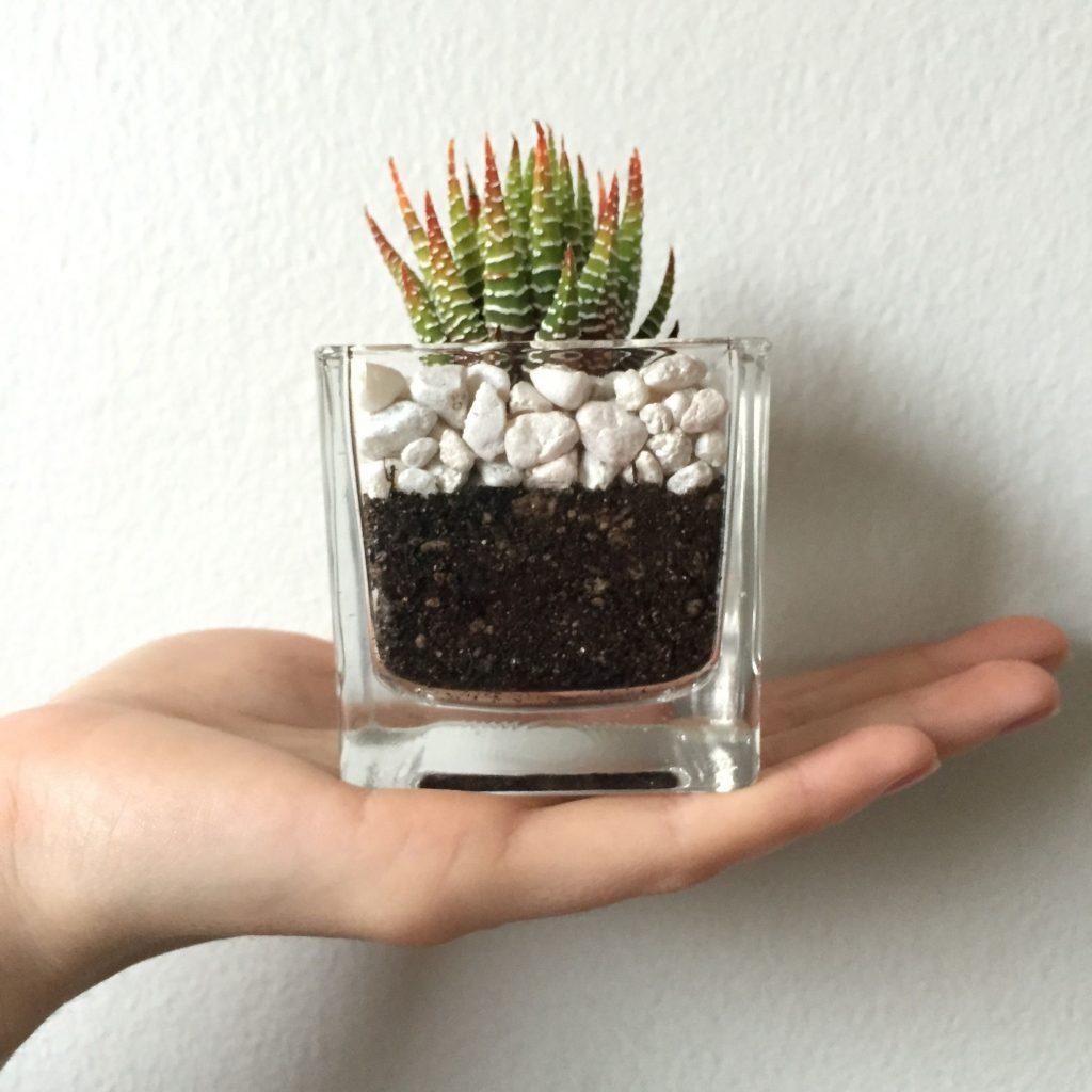 Zebra plant for small terrariums